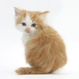 Ginger-And-White Kitten Looking over its Shoulder Photographic Print by Mark Taylor