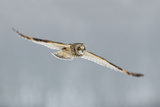 Short-Eared Owl (Asio Flammeus) in Flight, Worlaby Carr, Lincolnshire, England, UK, December Photographic Print by Danny Green
