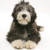 Blue Bearded Collie Pup, Misty, 3 Months, Lying Down Photographic Print by Mark Taylor