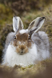 Mountain Hare (Lepus Timidus) with Partial Winter Coat, Scotland, UK, April Photographic Print by Mark Hamblin