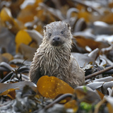 European River Otter (Lutra Lutra) Cub Amongst Kelp on Shoreline, Shetland Isles, Scotland, UK Photographic Print by Chris Gomersall