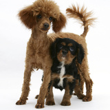 Red Toy Poodle Puppy, Reggie, with Black-And-Tan Cavalier King Charles Spaniel Puppy Photographic Print by Mark Taylor