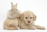 Toy Labradoodle Puppy and Lionhead-Cross Rabbit Photographic Print by Mark Taylor
