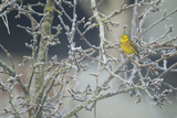 Yellowhammer (Emberiza Citrinella) Male Perched in Frost, Scotland, UK, December Photographic Print by Mark Hamblin