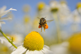 European Honey Bee (Apis Mellifera) with Pollen Sacs Flying Towards a Scentless Mayweed Flower, UK Photographic Print by Fergus Gill