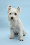 West Highland White Terrier Against a Blue Background Photographic Print by Mark Taylor