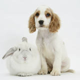 Orange Roan Cocker Spaniel Puppy, Blossom, with White Rabbit Photographic Print by Mark Taylor