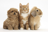 Peekapoo Puppy, Ginger Kitten and Sandy Lop Rabbit Photographic Print by Mark Taylor