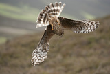 Hen Harrier (Circus Cyaneus) Female Diving to Nest Site, Carrying Nesting Material, UK, June Photographic Print by Mark Hamblin