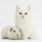 White Main Coon-Cross Kitten with White Guinea Pig Fotoprint van Mark Taylor