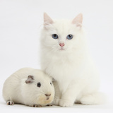 White Main Coon-Cross Kitten with White Guinea Pig Photographic Print by Mark Taylor