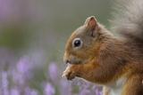 Red Squirrel (Sciurus Vulgaris) in Flowering Heather. Inshriach Forest, Scotland, September Fotografisk tryk af Peter Cairns