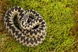 Adder (Vipera Berus) Coiled, Basking on Moss in the Spring Sunshine, Staffordshire, England, UK Photographic Print by Danny Green
