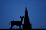 Roe Deer (Capreolus Capreolus) Buck Silhouette with Church Spire, Berkshire, England, UK, November Photographic Print by Bertie Gregory