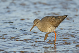 Common Redshank (Tringa Totanus) in Winter Plumage, the Wash, Norfolk, England, UK, March Photographic Print by Chris Gomersall