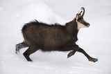 Chamois (Rupicapra Rupicapra) Running Through Snow, Gran Paradiso National Park, Italy, November Photographic Print by E. Haarberg