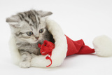 Tabby Kitten in a Father Christmas Hat Playing with a Toy Mouse Photographic Print by Mark Taylor