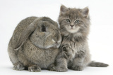 Maine Coon Kitten, 7 Weeks, with Agouti Lop Rabbit Photographic Print by Mark Taylor