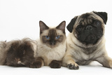 Fawn Pug, Burmese-Cross Cat and Shaggy Guinea Pig Photographic Print by Mark Taylor