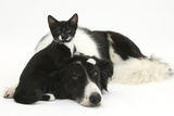 Black-And-White Border Collie Bitch, with Black-And-White Tuxedo Kitten, 10 Weeks Old Photographic Print by Mark Taylor