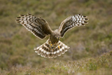 Hen Harrier (Circus Cyaneus) Hovering over Moorland, Glen Tanar Estate, Deeside, Scotland, UK Photographic Print by Mark Hamblin