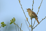 Common Nightingale (Luscinia Megarhynchos) Adult Perched, Singing, Cambridgeshire, UK, April Photographic Print by Chris Gomersall