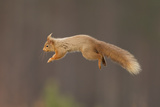 Red Squirrel (Sciurus Vulgaris) Jumping, Cairngorms National Park, Scotland, March 2012 Photographic Print by Peter Cairns
