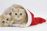 Two Ginger Kittens in a Father Christmas Hat Photographic Print by Mark Taylor