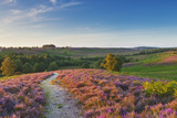 Heather in Bloom, Lowland Heathland, Rockford Common, Linwood, New Forest Np, England, UK Photographic Print by Guy Edwardes