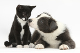 Blue and White Border Collie Puppy and Black and White Tuxedo Kitten, Tuxie, 11 Weeks Photographic Print by Mark Taylor