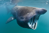 Basking Shark (Cetorhinus Maximus) Feeding in Open Water, Cornwall, England, UK, June Photographic Print by Alex Mustard