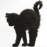 Fluffy Black Kitten, 9 Weeks Old, Stretching with Arched Back Photographic Print by Mark Taylor