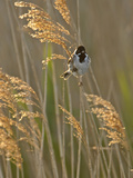 Reed Bunting (Emberiza Schoeniclus) Adult Male Perched in Reedbed, Norfolk, UK, May Photographie par Chris Gomersall