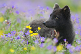 Arctic Fox (Vulpes Lagopus) in Wild Flower Meadow, Dark Summer Phase, Hornstrandir, Iceland, July Photographic Print by O. Haarberg