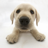Yellow Labrador Retriever Puppy, 8 Weeks Old, Lying with Head Up Fotografisk tryk af Mark Taylor