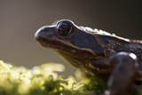 Common Frog {Rana Temporaria}, Backlit Portrait, Cornwall, UK. January 2012 Photographic Print by Ross Hoddinott