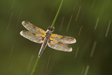 Four-Spotted Chaser Dragonfly (Libellula Quadrimaculata) in Rain, Westhay, Somerset Levels, UK Photographic Print by Guy Edwardes