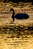 Whooper Swan (Cygnus Cygnus) Silhouette at Sunrise, Loch Insh, Cairngorms Np, Kincraig, Scotland Photographic Print by Peter Cairns