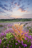 Bell Heather (Erica Cinerea) Flowering on Rockford Common, New Forest Np, Hampshire, UK Photographic Print by Guy Edwardes