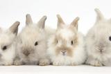 Four Baby Lionhead Cross Lop Bunnies in a Row Papier Photo par Mark Taylor