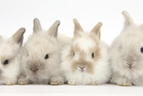 Four Baby Lionhead Cross Lop Bunnies in a Row Photographic Print by Mark Taylor