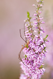Harvestman (Opiliones) on Flowering Heather, Arne Rspb Reserve, Dorset, England, UK, July Photographic Print by Ross Hoddinott