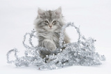 Maine Coon Kitten, 8 Weeks, with Christmas Tinsel Photographic Print by Mark Taylor