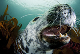 Grey Seal (Halichoerus Grypus) Shows its Teeth, Lundy Island, Bristol Channel, England Photographic Print by Alex Mustard