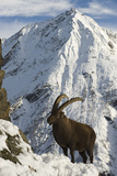 Alpine Ibex (Capra Ibex Ibex) in Alpine Landscape in Snow, Gran Paradiso Np, Italy, November 2008 Photographic Print by E. Haarberg