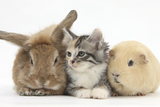 Sandy Rabbit, Tabby Tortoiseshell Maine Coon-Cross Kitten, 7 Weeks, and Yellow Guinea Pig Photographic Print by Mark Taylor
