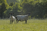 Two Newly Clipped Domesitc Sheep Grazing in Pasture at Rspb's Hope Farm, Cambridgeshire Photographic Print by Chris Gomersall
