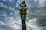 Female Emperor Dragonfly (Anax Imperator) Close-Up, on Twig Above Water with Clouds Reflected Photographic Print by Laurent Geslin
