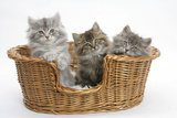 Three Maine Coon Kittens, 8 Weeks, in a Basket Photographic Print by Mark Taylor