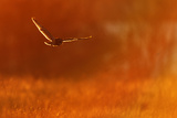 Short Eared Owl (Asio Flammeus) in Flight, Hunting, Essex, UK, January Photographic Print by Andy Rouse